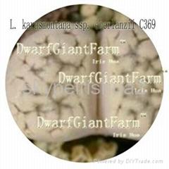 50pcs a set  Lithop Karasmontana seed DwarfGiantFarm irishua2