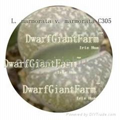 50pcs a set lithop Marmorata seed 25usd DwarfGiantFarm irishua2