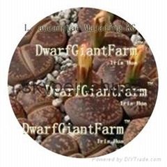 DwarfGiantFarm 50pcs a set Lithop Aucampiae seed  25usd DwarfGiantFarm irishua2
