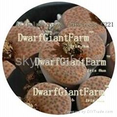 DwarfGiantFarm 50pcs a set Lithop Fulviceps SEED 25usd DwarfGiantFarm irishua2