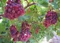 供應賓川紅提葡萄 2