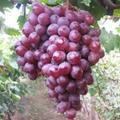 供應賓川紅提葡萄 3