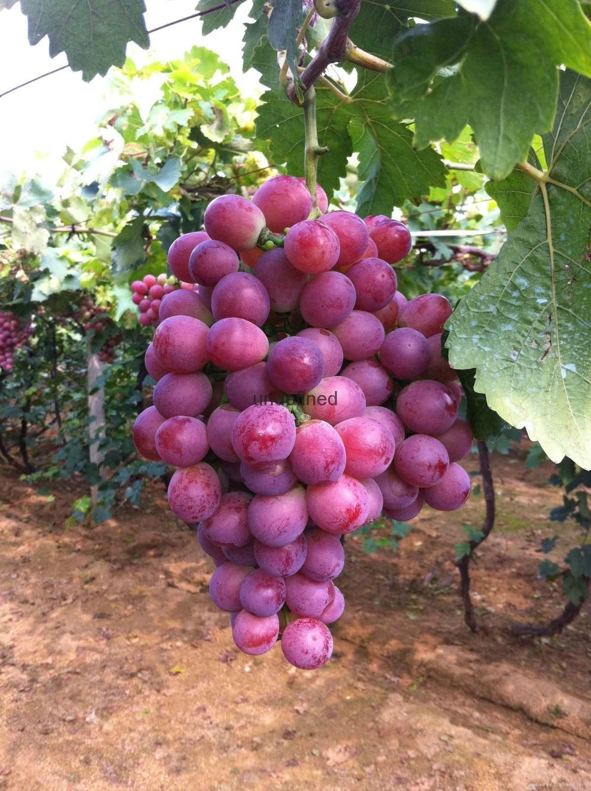 供應賓川紅提葡萄 4