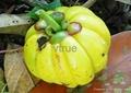 Garcinia mangostana 2
