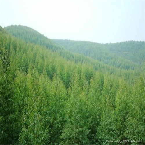 純天然提取桉葉油GMP 標準 2