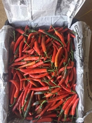 Vietnamese Fresh Chilli for Sale - Premium Quality.