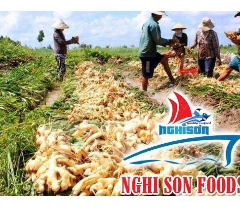 Fresh Young Ginger For Sale From Viet Nam  5