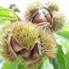 2017 New Crop Fresh chestnuts accept your orders now