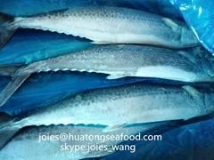 2017 frozen spanish mackerel WR BQF for market