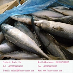 2017 New Arrival Fresh High Quality Frozen Tilapia Fish