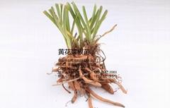 黃花菜種苗
