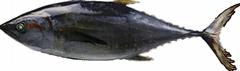 Whole Sale Frozen Tuna Fish