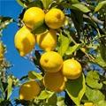 安岳檸檬苗