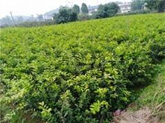 檸檬苗培育基地