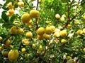 檸檬苗培育基地 2