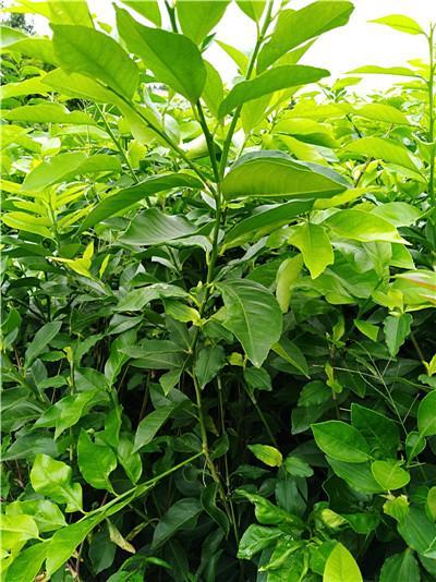 檸檬苗培育基地 5