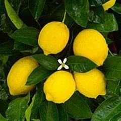 简阳尤力克柠檬苗