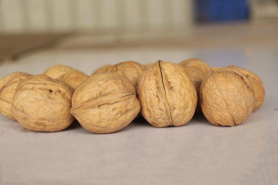Walnut in shell 3