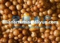 brine shrimp eggs made in china