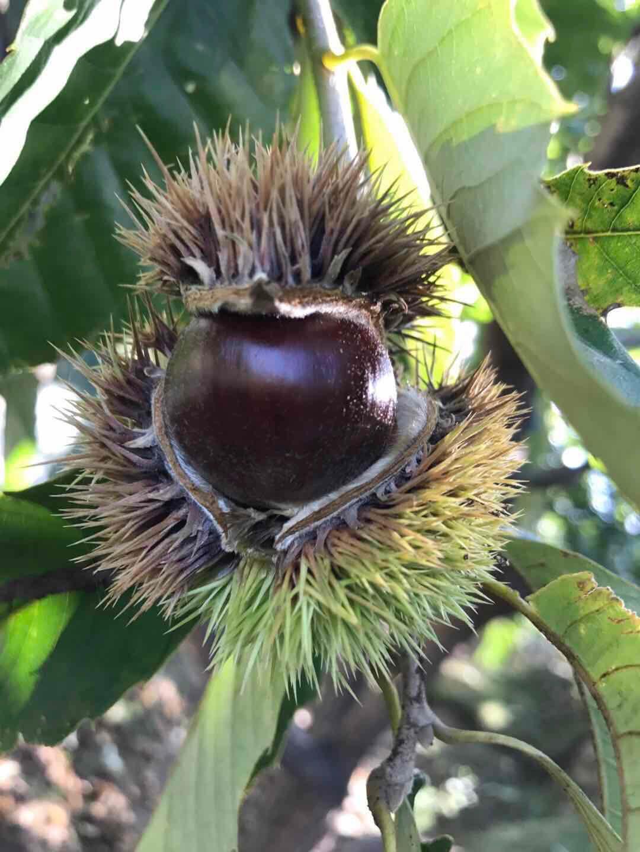 Chinese chestnut 2
