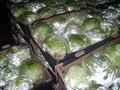 Fresh cabbage 1