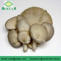 New Arrival High Quality Pleurotus