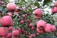 红苹果富士