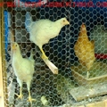 """plastic chicken wire mesh 1/2"""" small chicken coop wire"""