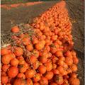 南瓜粉100%纯  脱水蔬菜  厂家直销 2