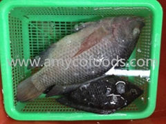 Frozen tilapia whole round origin China