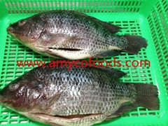 Frozen tilapia GS with high quality and low price
