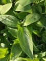 高产半夏种子 1