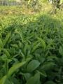 高产半夏种子 2