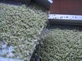 frozen kiwi dice