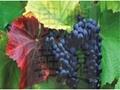 葡萄皮红 红酒添加补色着色剂 4