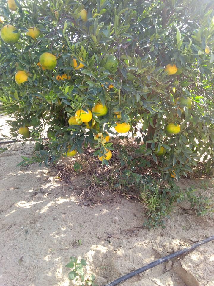 Fresh Mandarin  - Low Price - Finest quality - Egyptian Mandarin   1