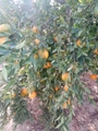Fresh Mandarin  - Low Price - Finest quality - Egyptian Mandarin   2