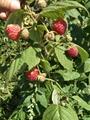 红树莓苗 1