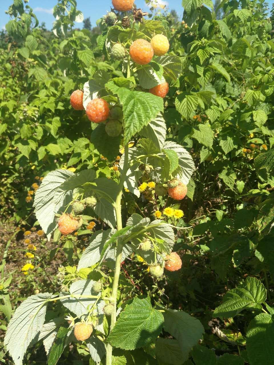 红树莓苗 2