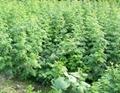 红树莓苗 3
