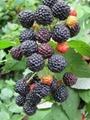 红树莓苗 4