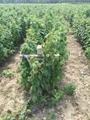 黑树莓苗 1