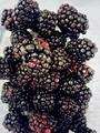 黑树莓苗 3