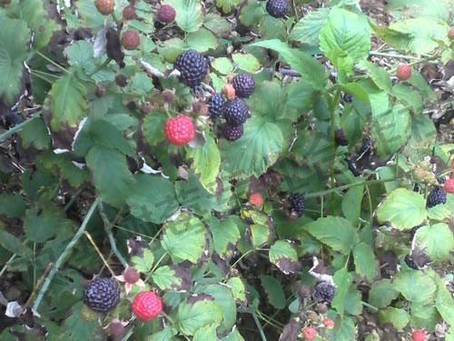 黑树莓苗 5