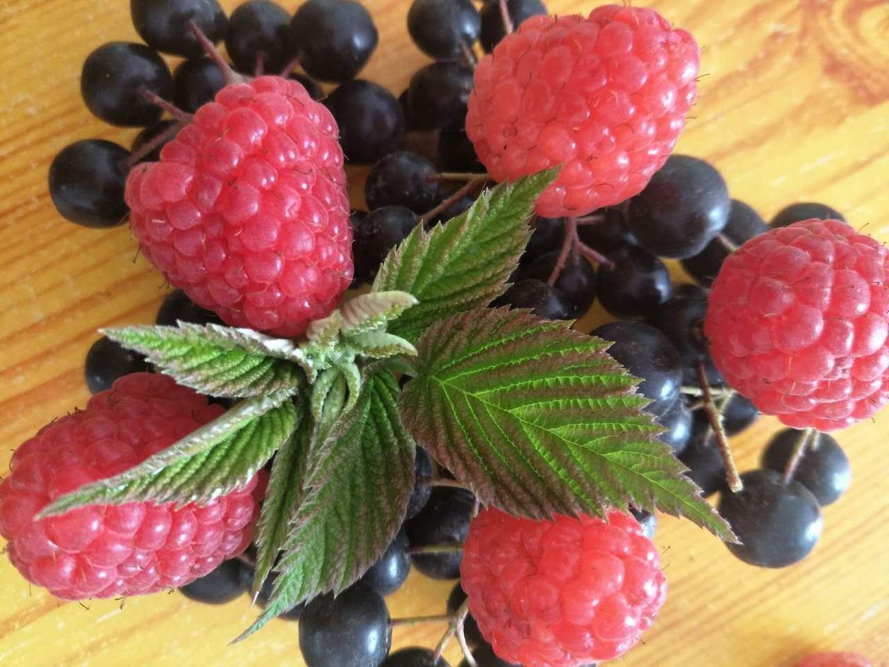 双季红树莓苗 1