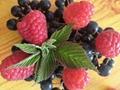 雙季紅樹莓苗