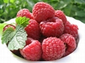 双季红树莓苗 3