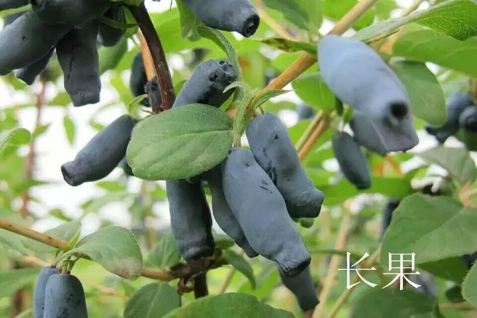 藍靛果苗 1