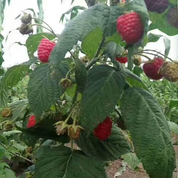 樹莓苗 1