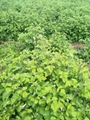 樹莓苗 2